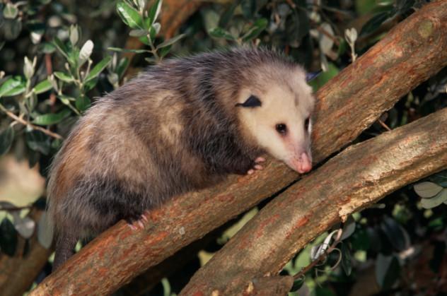 2 possum