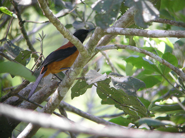 7 800px-Hooded_Pitohui
