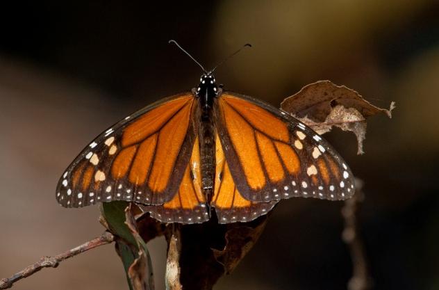 2_ButterflyEucalyptus