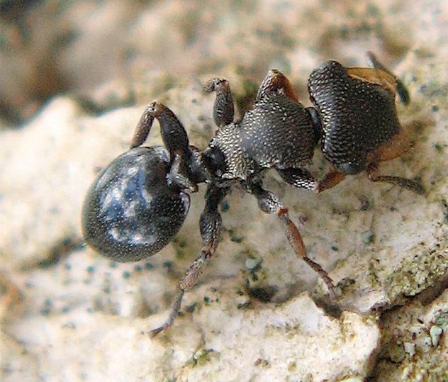 Brandao-et-al-2014-3Cephalotes-specularis