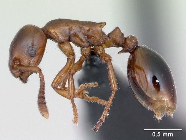 Formicoxenus nitidulus