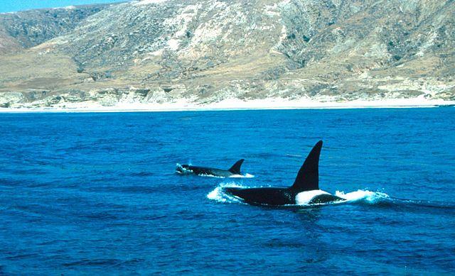 Orcas_off_Santa_Rosa_island
