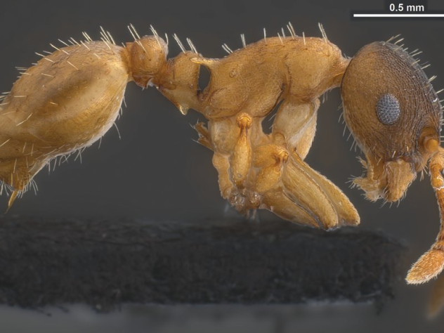 Temnothorax pilagens