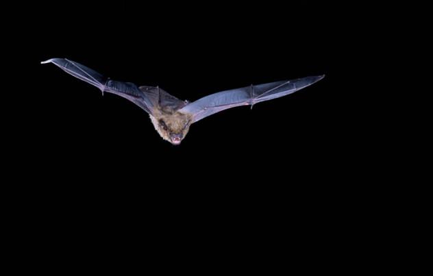 bat wing