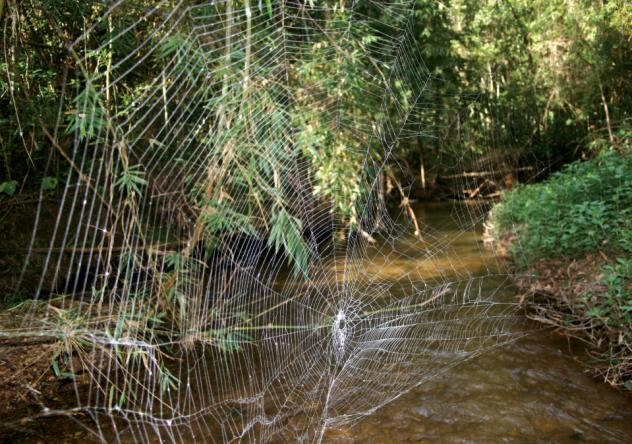 darwinsbarkspiderweb