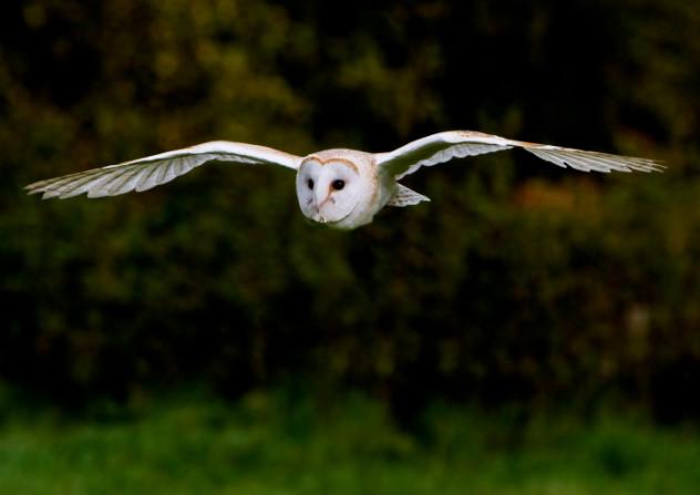 Barn own in flight