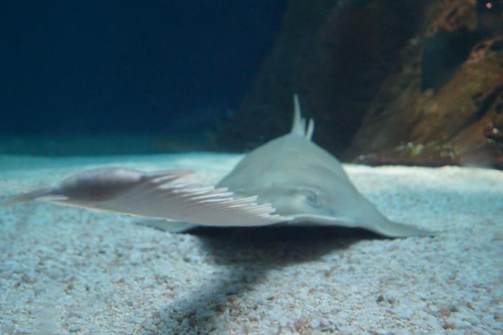 sawfish snout