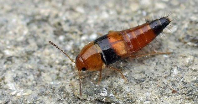 1-rove-beetle