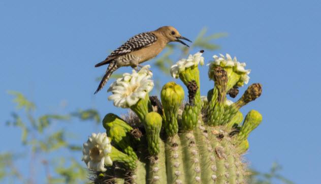 5-gila-woodpecker-178752993-632x362