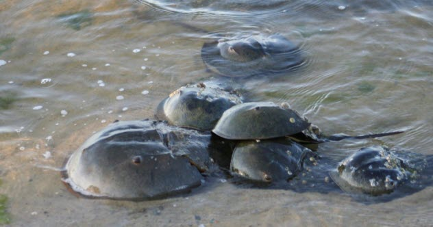 7-horseshoe-crabs-476284325