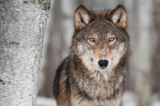 7- wolf