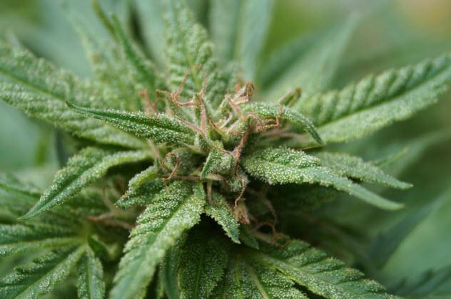 9-marijuana-plant-480166401