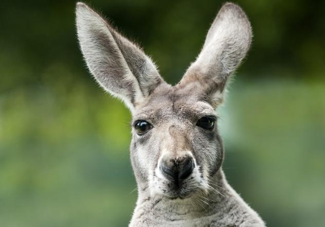 Disturbed Kangaroo