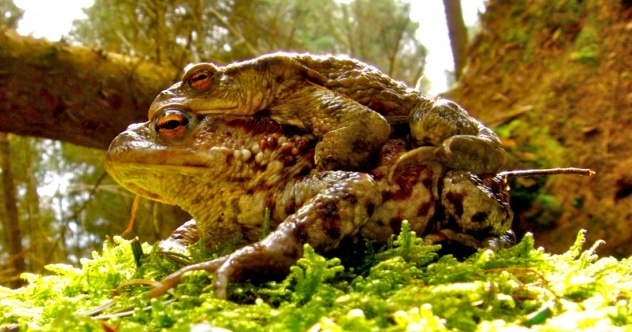 Mating Amphibians