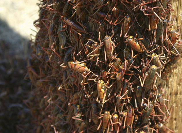 Mormon Cricket Swarm