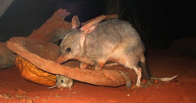 1-possible-feature-bilby