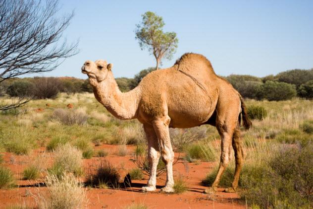 10-feral-camel-146823885
