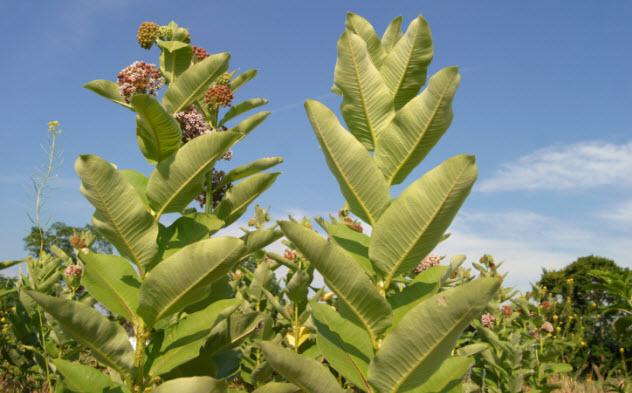 6-milkweed-90838035