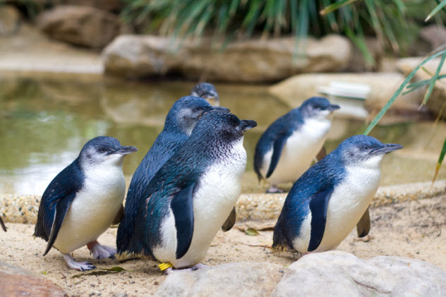 9-little-penguins-136239252