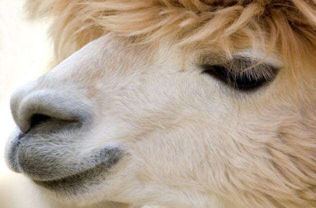 5-camel-closeup-122407020
