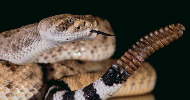7-rattlesnake-78768769