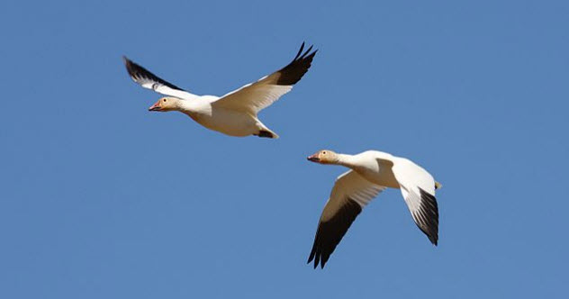 8-snow-geese