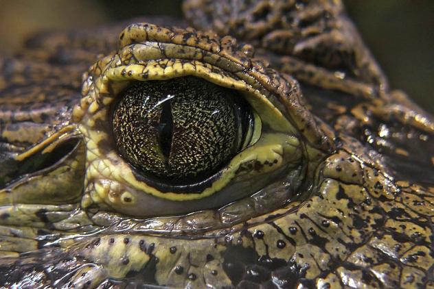 Croc Tear