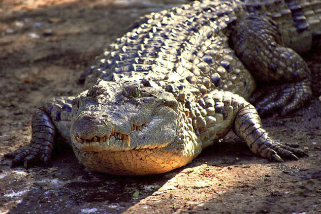 Croc in Sun
