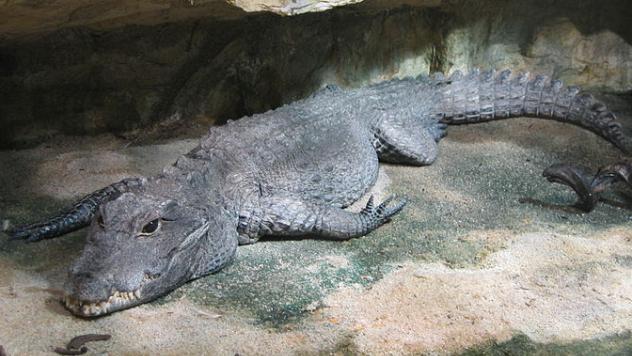 Dwarf Croc
