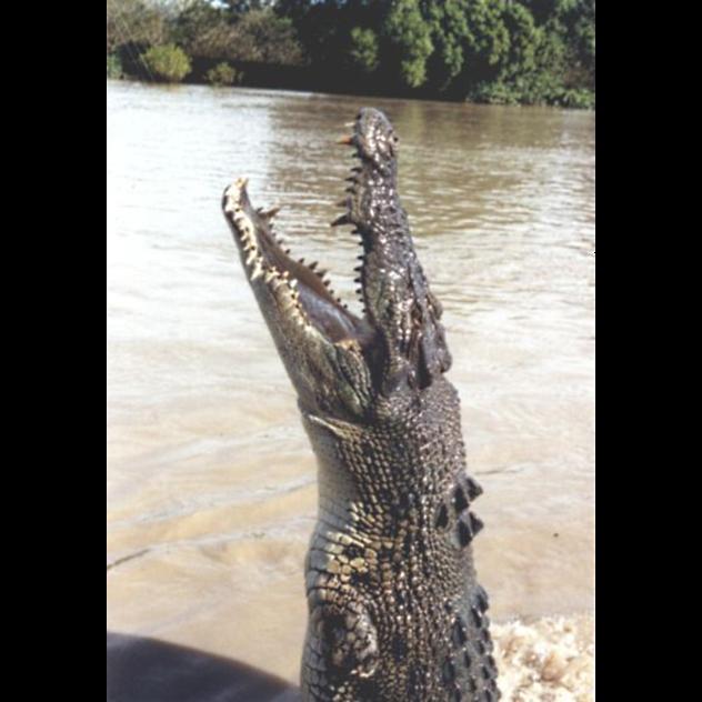 Vertical Croc