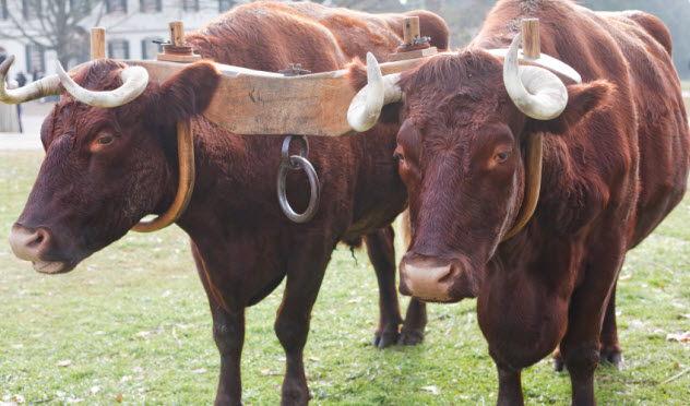 7-oxen_000011498915_Small