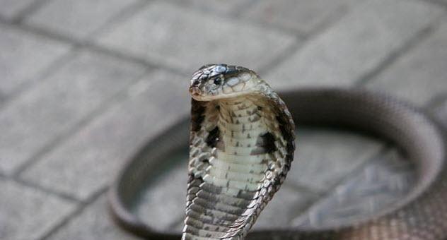 1-monocled-snake