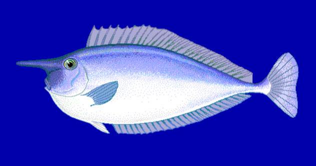 1-unicornfish