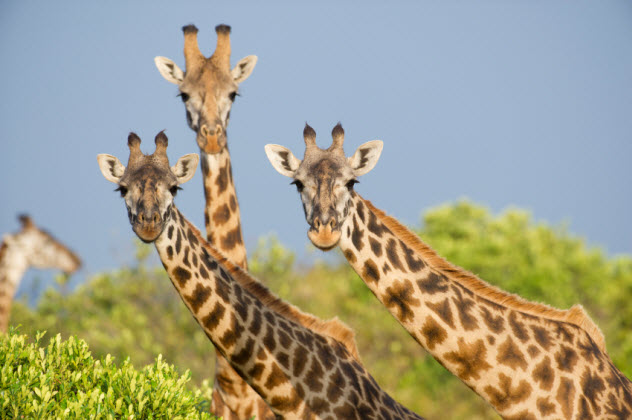2-giraffes_000017585615_Small