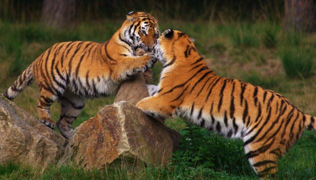 4-siberian-tigers_000010779912_Small