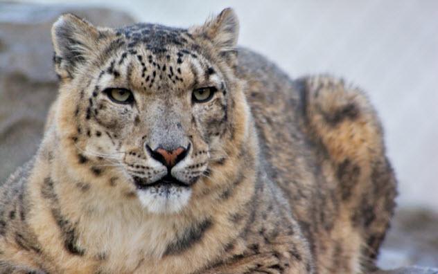 5-snow-leopard_000003312945_Small