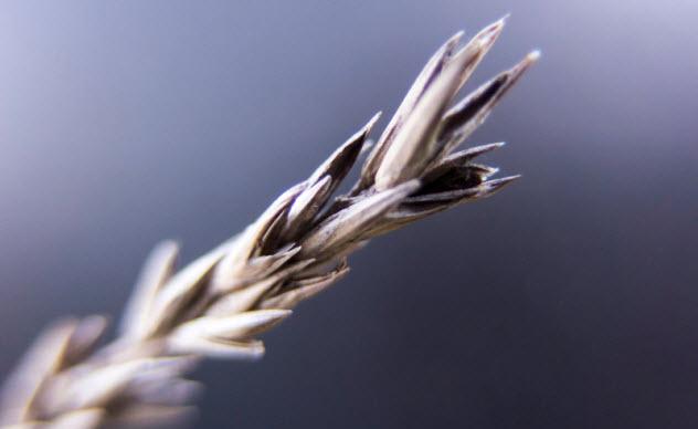 7-ear-of-grain_000060293694_Small