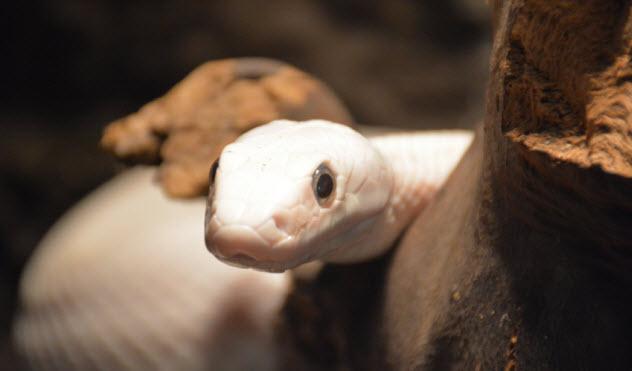 7-ivory-ball-python_000049695116_Small