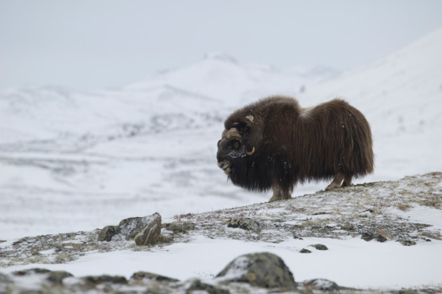 Musk-ox in Norge