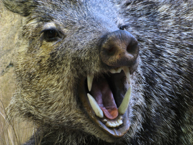 6-boar-mouth_000009645613_Small