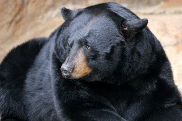 9-black-bear_000002508016_Small