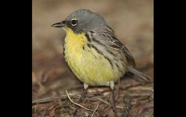 9-kirtlands-warbler