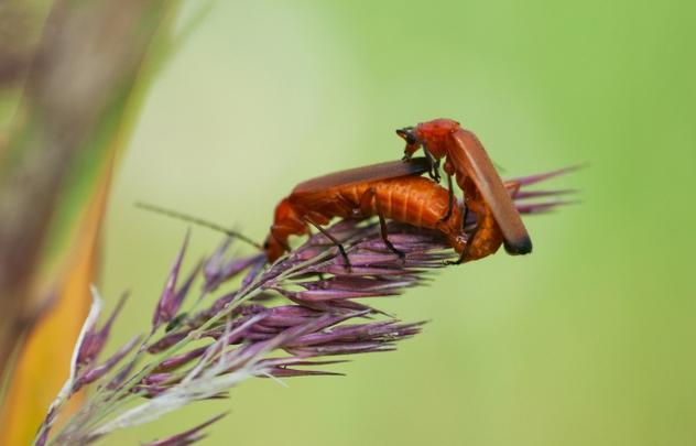 bedbug copulation
