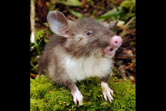 4-pig-nosed-vampire-rat