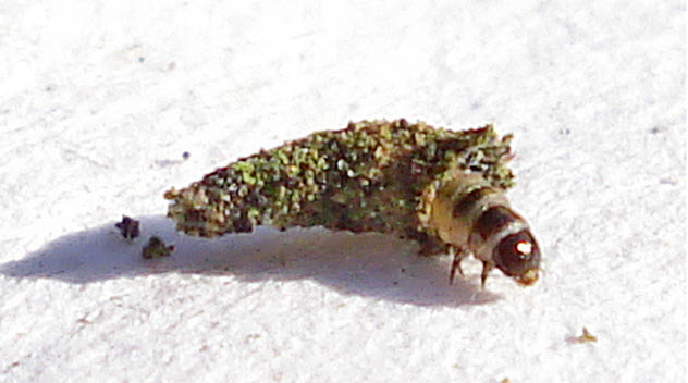 5-bagworm
