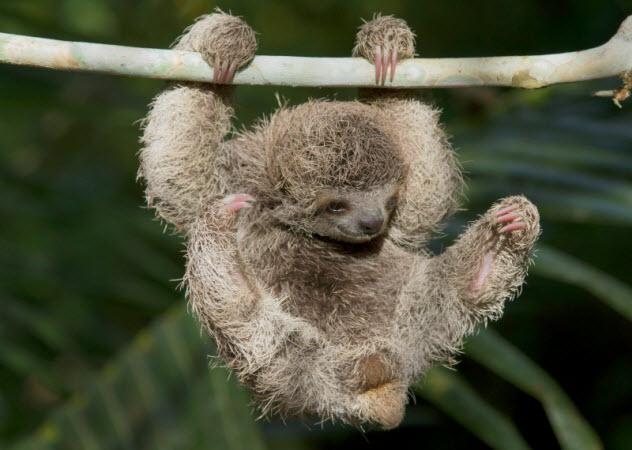 1-three-toed-sloth_000054475736_Small