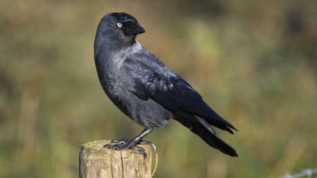 3a-jackdaw_000001158386_Small