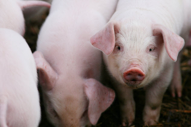 6-pigs_000025852543_Small