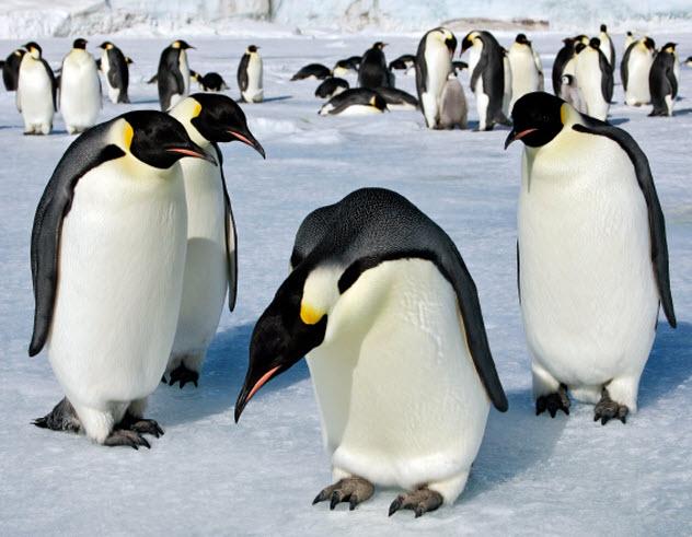 7-emperor-penguins_000018386429_Small