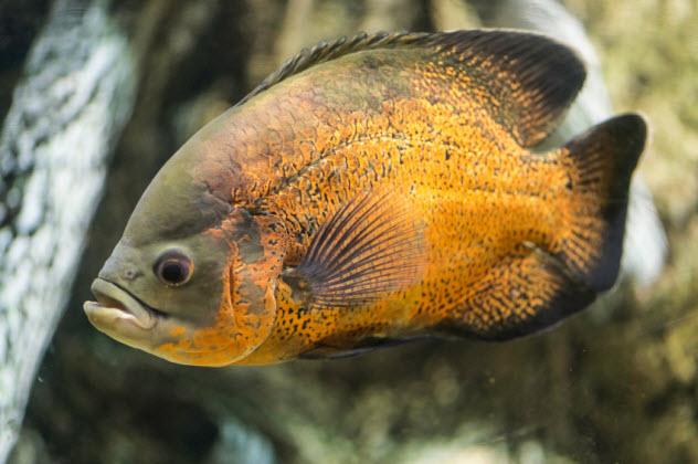 9-piranha_000055331858_Small